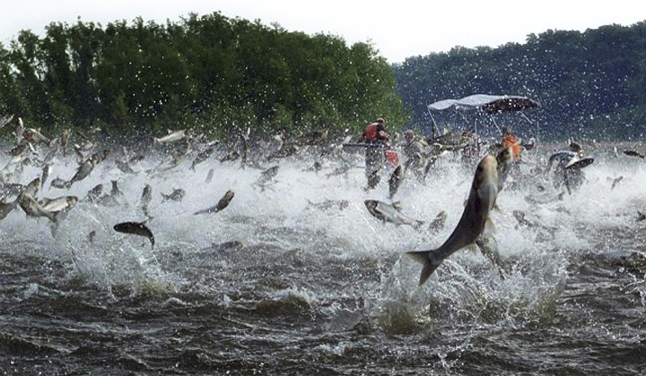 Asian Silver Carp In Louisiana 29