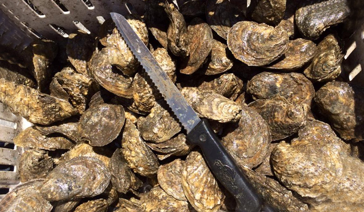 Neglected Oyster Shells to Be Returned to Gulf